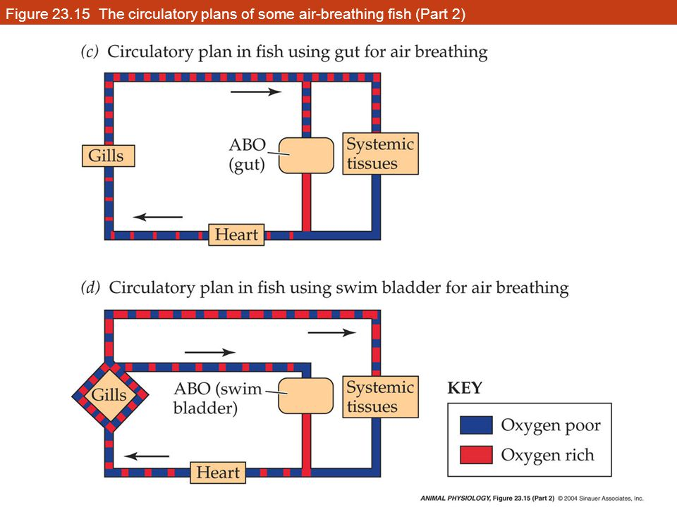 Figure 23.15 The circulatory plans of some air-breathing fish (Part 2)