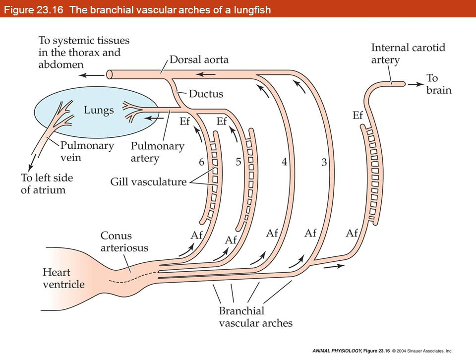 Figure 23.16 The branchial vascular arches of a lungfish