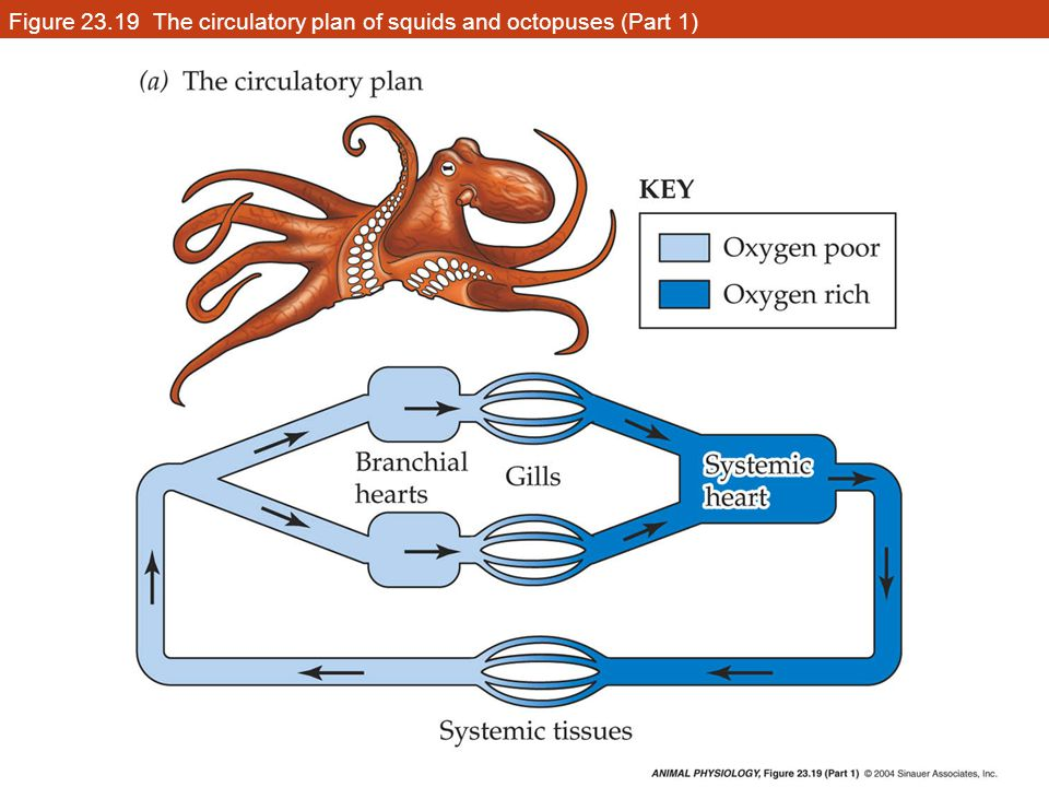 Figure 23.19 The circulatory plan of squids and octopuses (Part 1)
