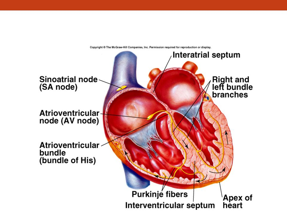Conducting Tissues of the Heart (continued)