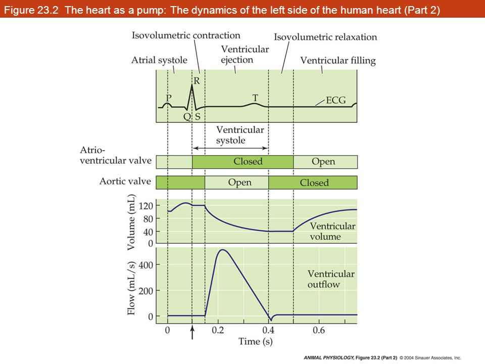 Figure 23.2 The heart as a pump: The dynamics of the left side of the human heart (Part 2)