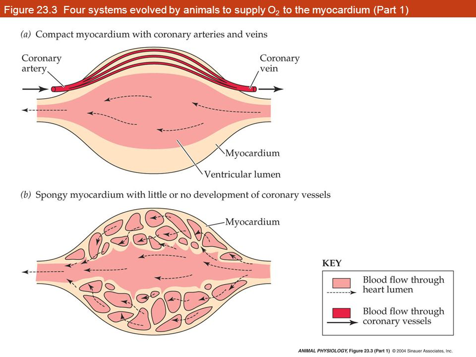 Figure 23.3 Four systems evolved by animals to supply O2 to the myocardium (Part 1)