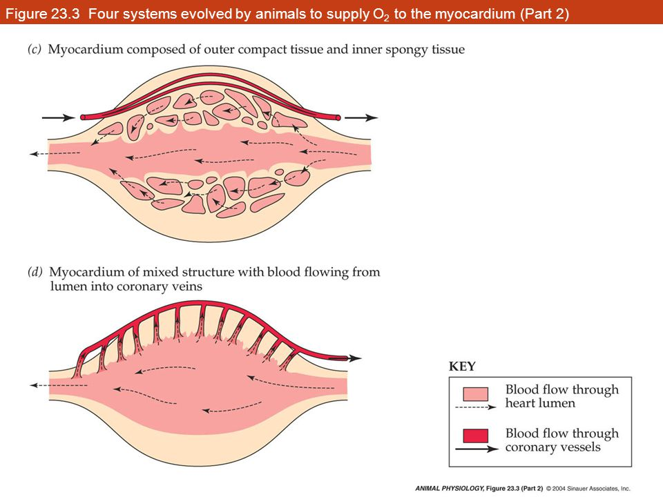 Figure 23.3 Four systems evolved by animals to supply O2 to the myocardium (Part 2)