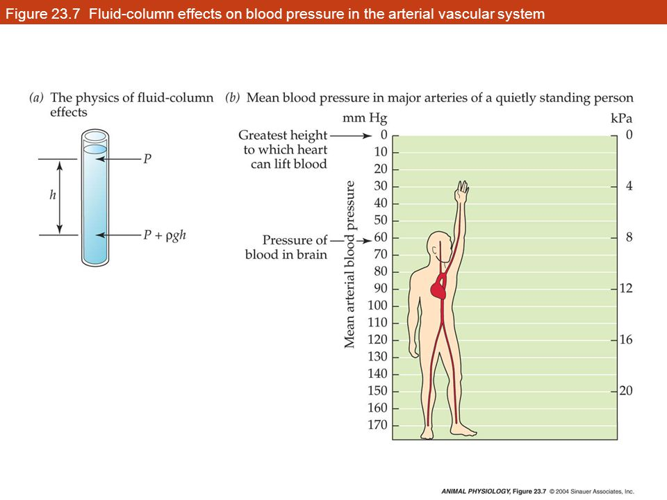 Figure 23.7 Fluid-column effects on blood pressure in the arterial vascular system