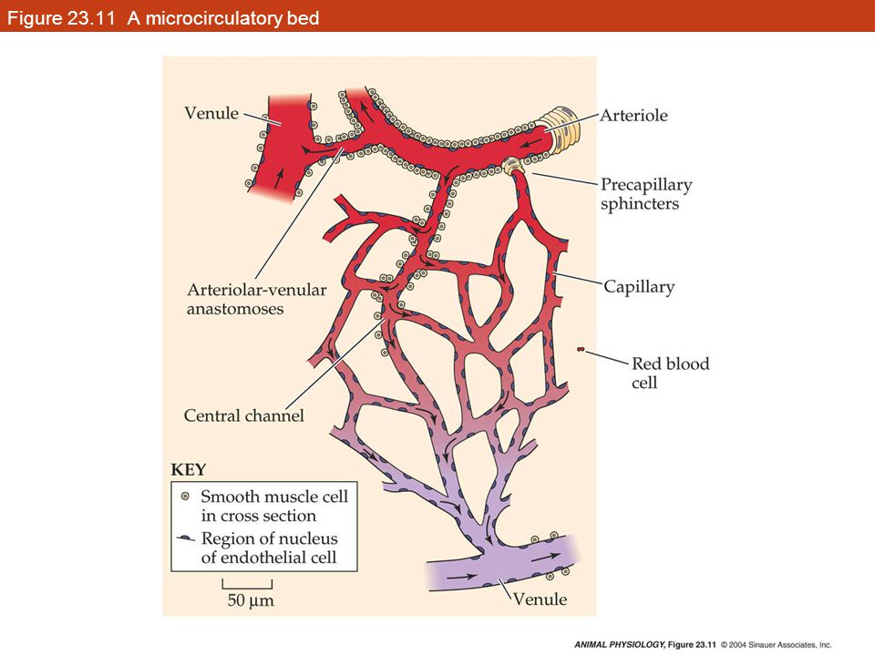 Figure 23.11 A microcirculatory bed