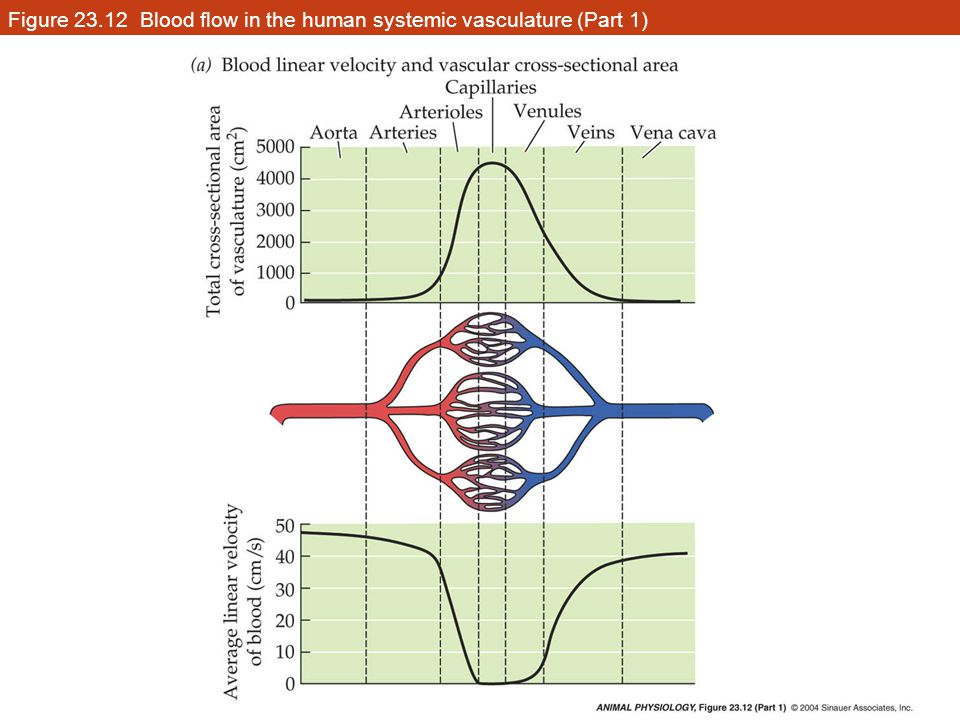 Figure 23.12 Blood flow in the human systemic vasculature (Part 1)