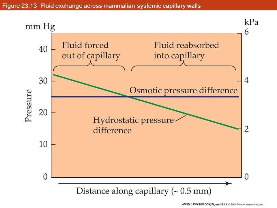 Figure 23.13 Fluid exchange across mammalian systemic capillary walls