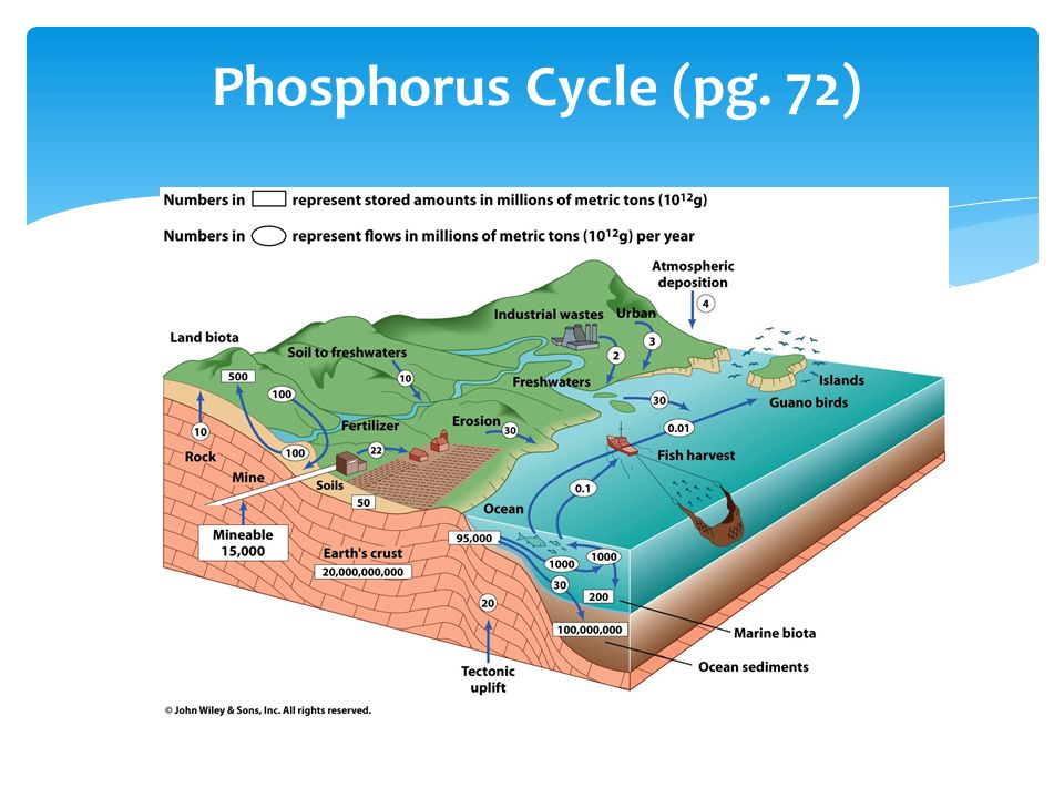 Phosphorus Cycle (pg. 72)