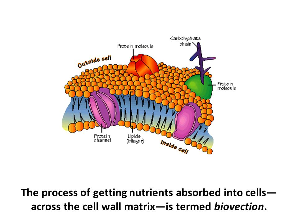 The process of getting nutrients absorbed into cells—across the cell wall matrix—is termed biovection.