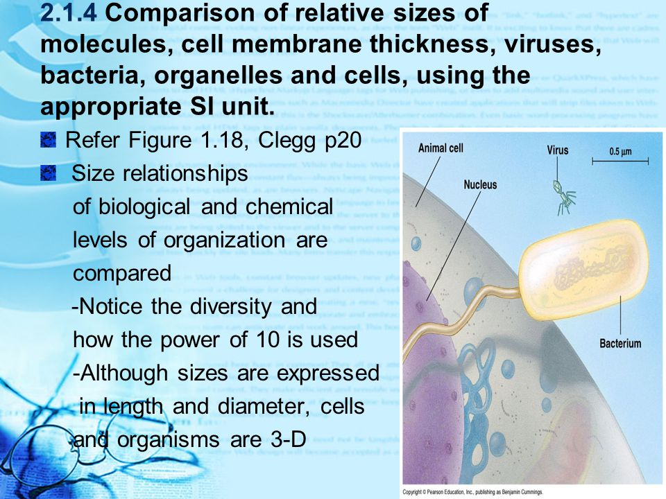 2.1.4 Comparison of relative sizes of molecules, cell membrane thickness, viruses, bacteria, organelles and cells, using the appropriate SI unit.