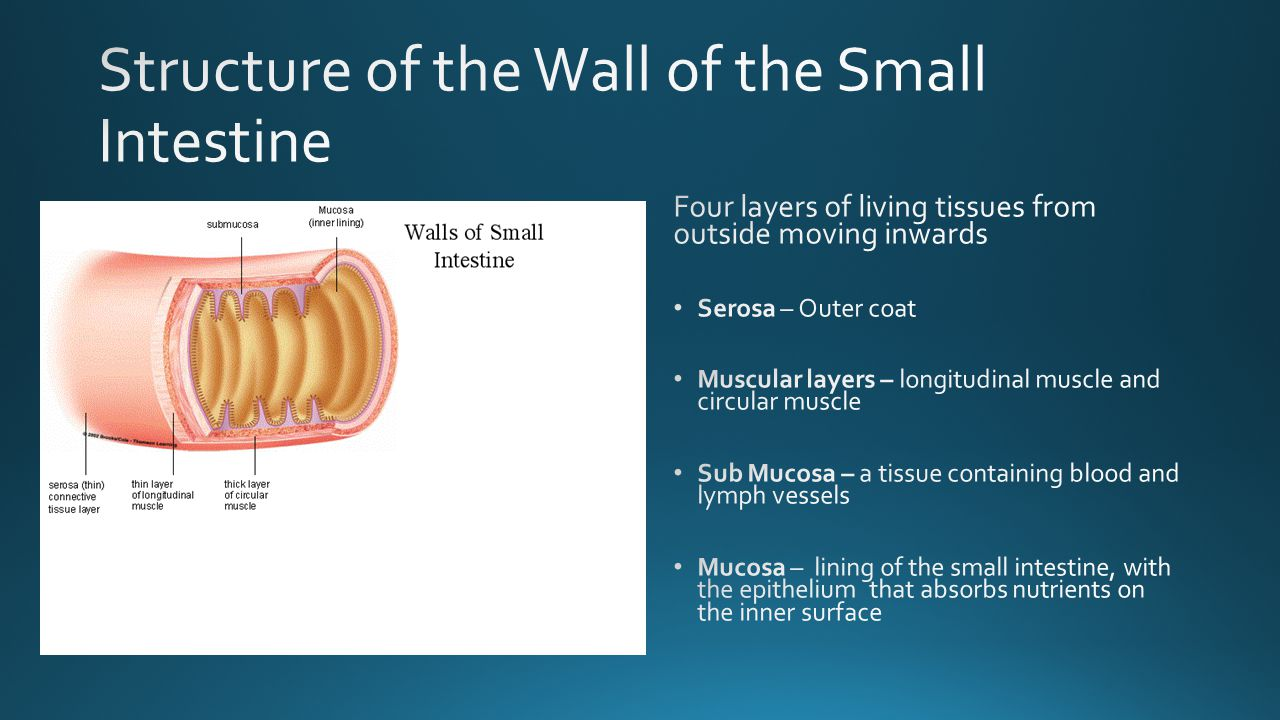 Structure of the Wall of the Small Intestine