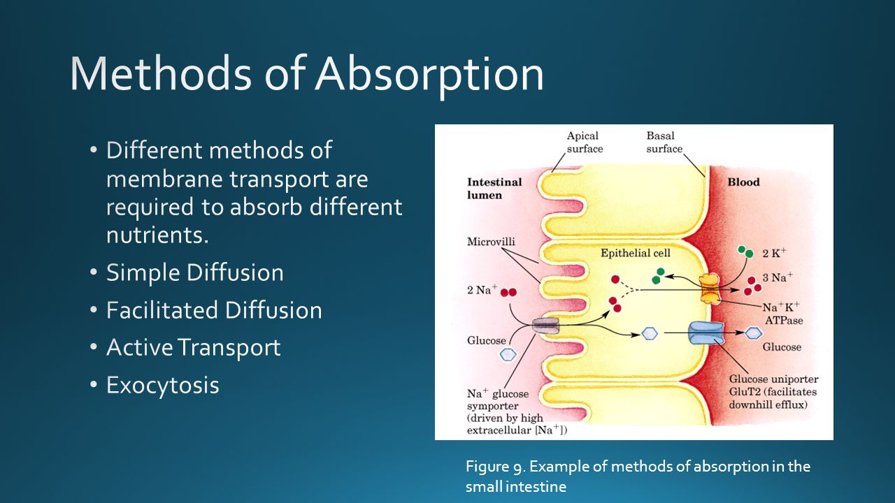 Methods of Absorption Different methods of membrane transport are required to absorb different nutrients.