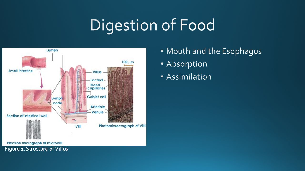 Digestion of Food Mouth and the Esophagus Absorption Assimilation