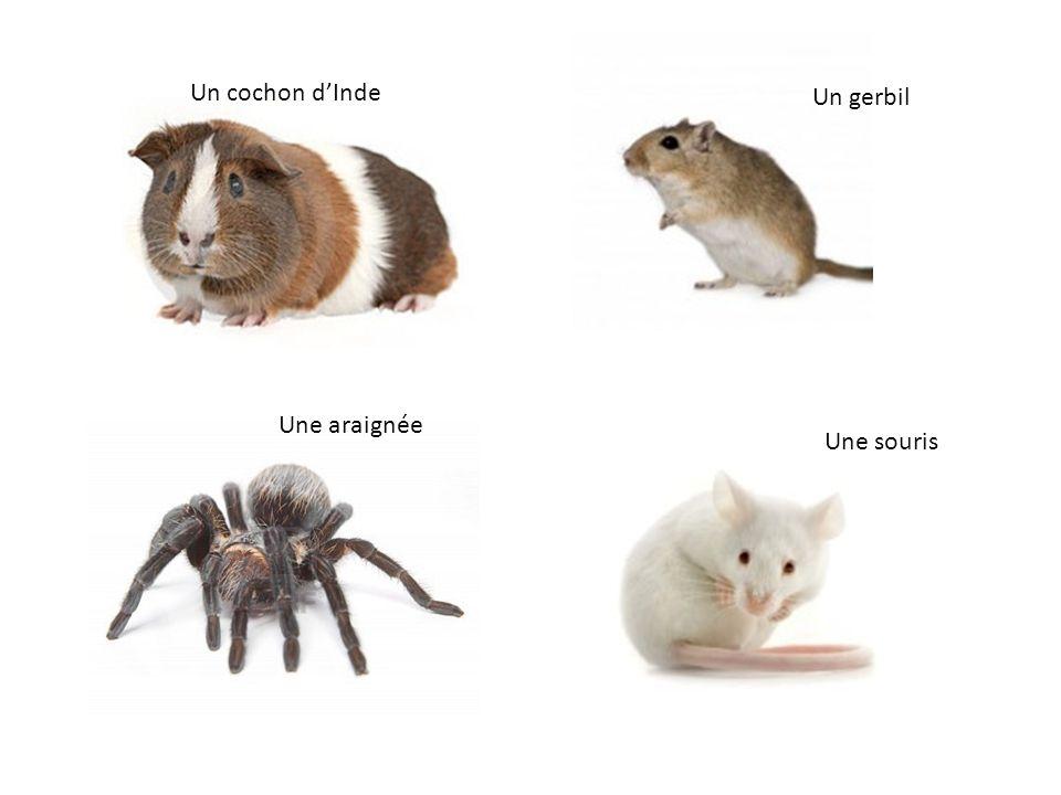 Un cochon d'Inde Un gerbil Une araignée Une souris