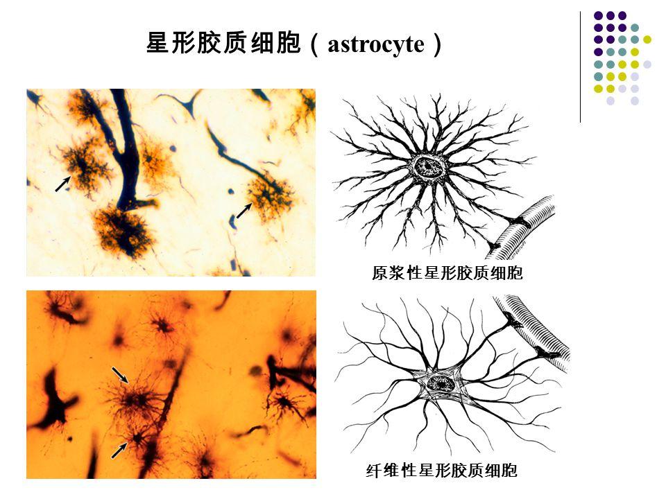 星形胶质细胞(astrocyte) 原浆性星形胶质细胞 纤维性星形胶质细胞