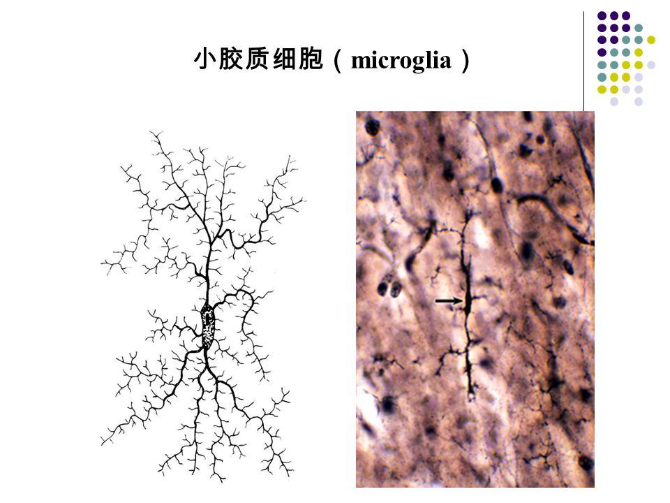 小胶质细胞(microglia)