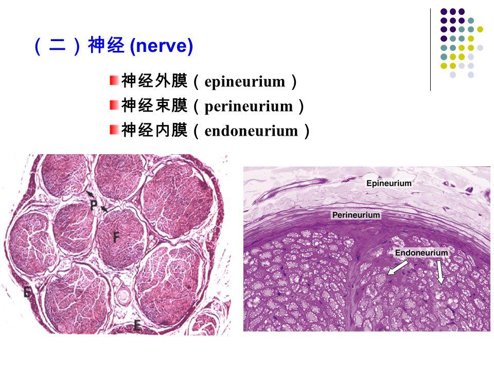 (二)神经 (nerve) 神经外膜(epineurium) 神经束膜(perineurium) 神经内膜(endoneurium)