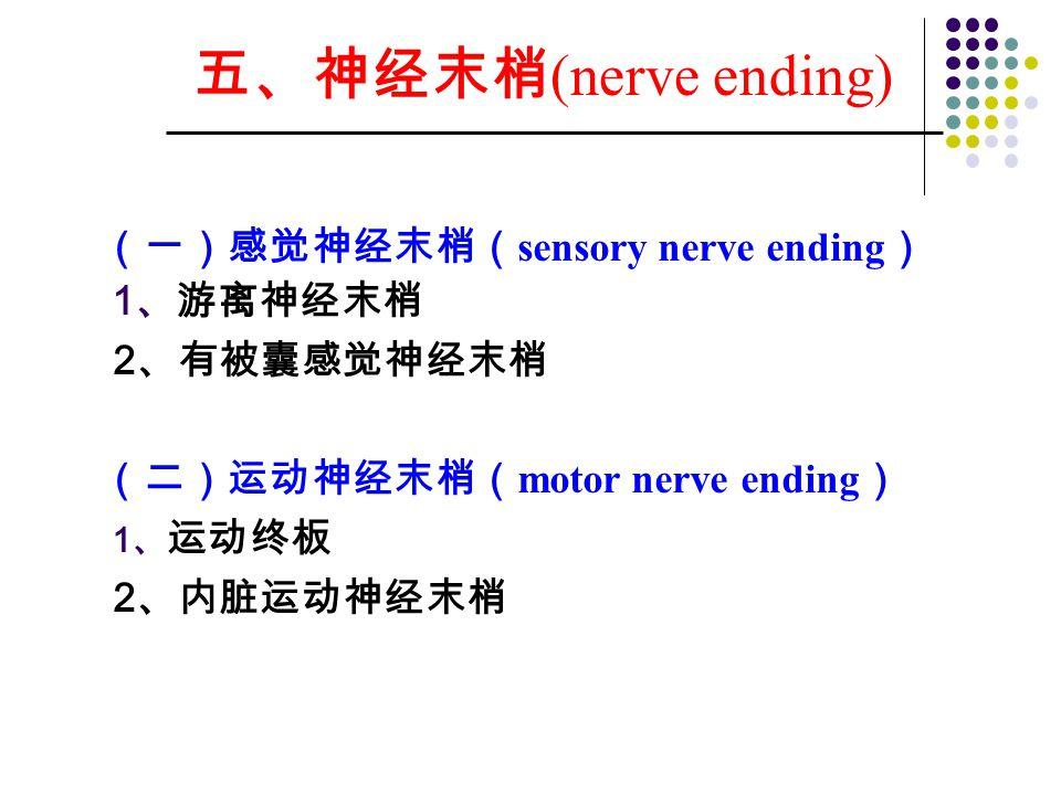 五、神经末梢(nerve ending) (一)感觉神经末梢(sensory nerve ending) 2、有被囊感觉神经末梢