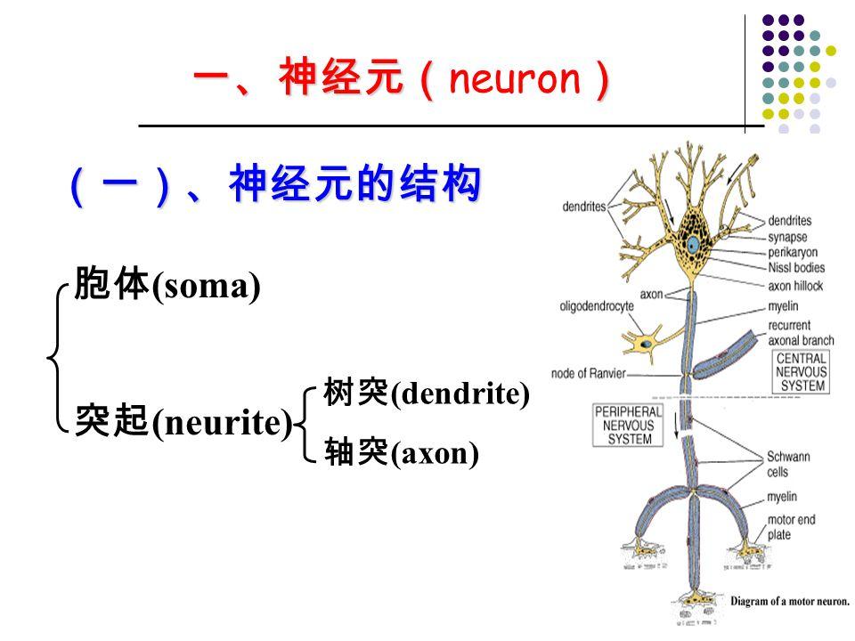 一、神经元(neuron) (一)、神经元的结构 胞体(soma) 突起(neurite) 树突(dendrite) 轴突(axon)
