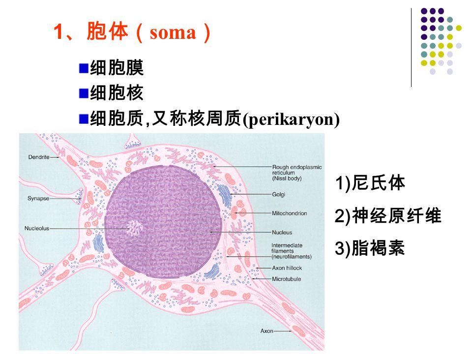 1、胞体(soma) 细胞膜 细胞核 细胞质,又称核周质(perikaryon) 1)尼氏体 2)神经原纤维 3)脂褐素