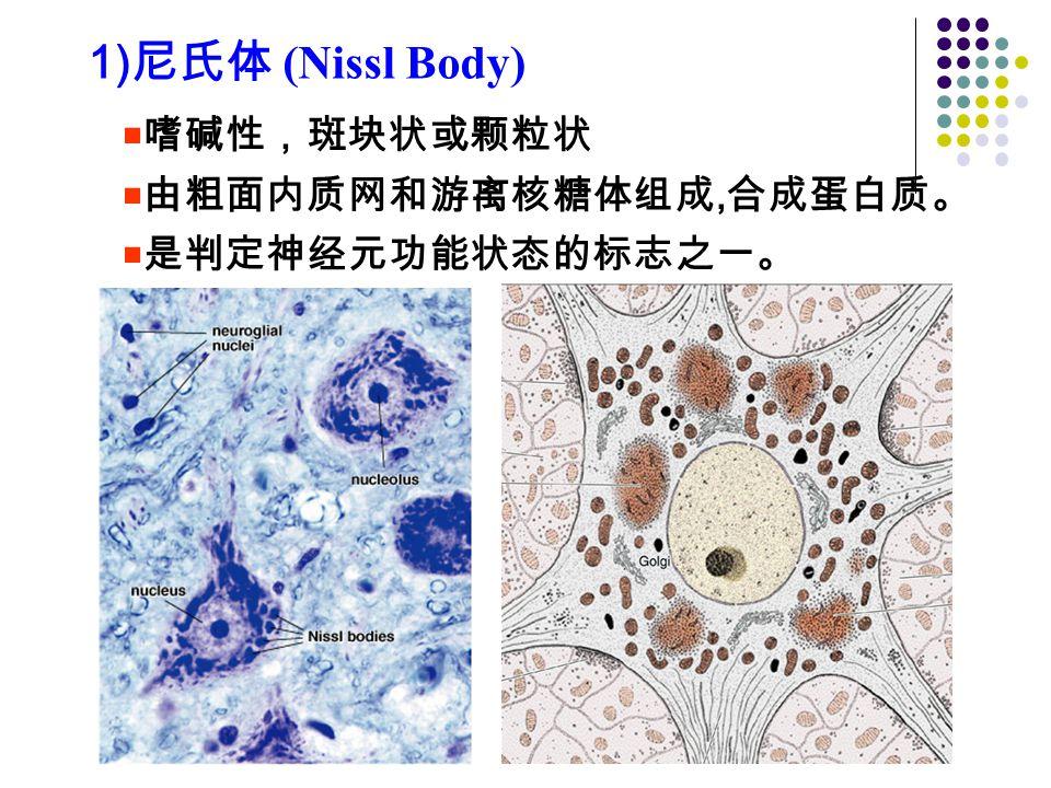 1)尼氏体 (Nissl Body) ■嗜碱性,斑块状或颗粒状 ■由粗面内质网和游离核糖体组成,合成蛋白质。