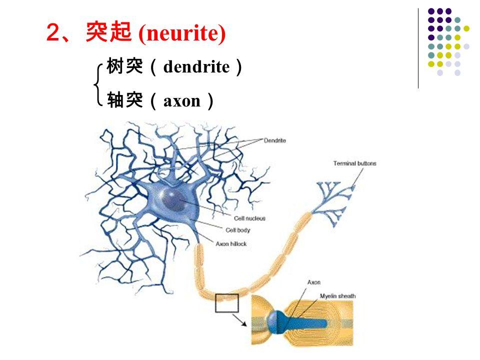 2、突起 (neurite) 树突(dendrite) 轴突(axon)
