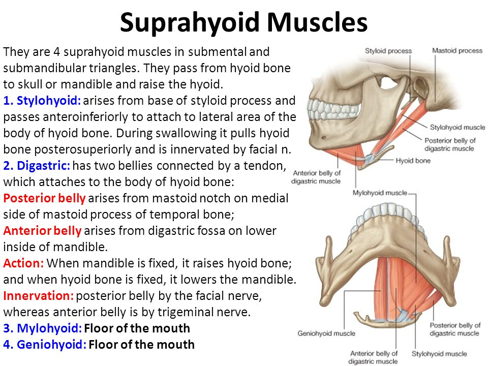 head and neck muscles Flashcards  Quizlet