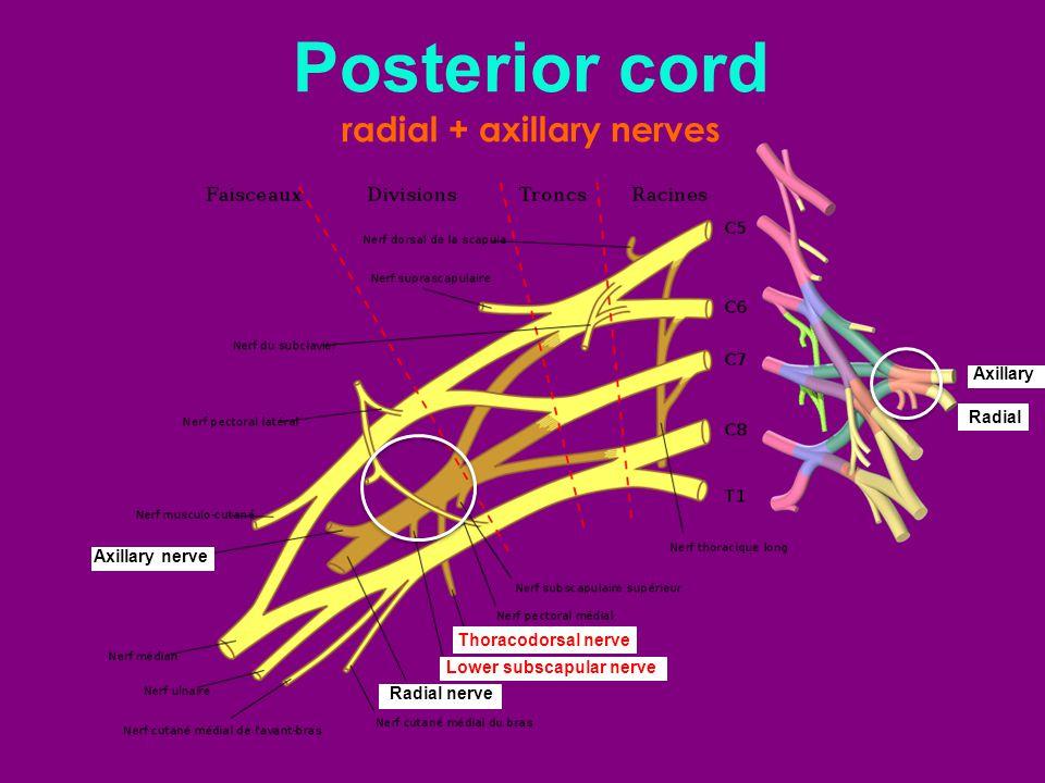 radial + axillary nerves