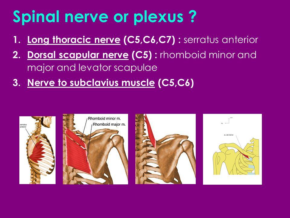 Spinal nerve or plexus Long thoracic nerve (C5,C6,C7) : serratus anterior.