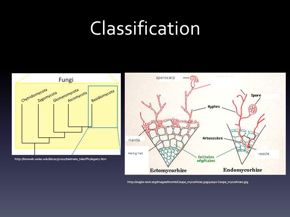 Classification sporocarp mantle vesicle Hartig Net
