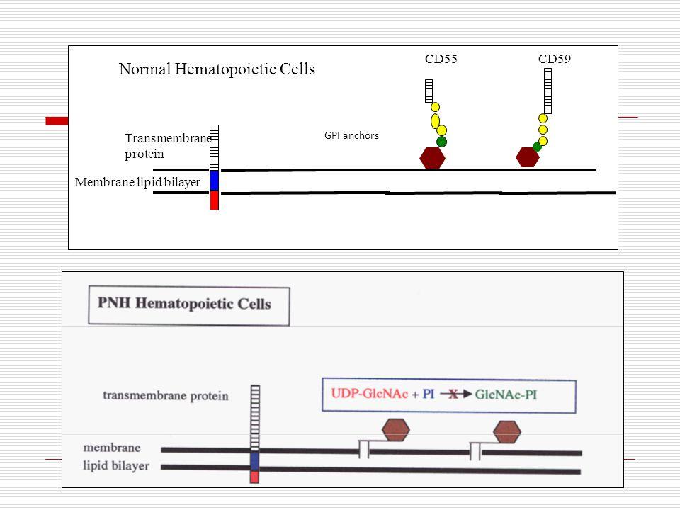 Normal Hematopoietic Cells