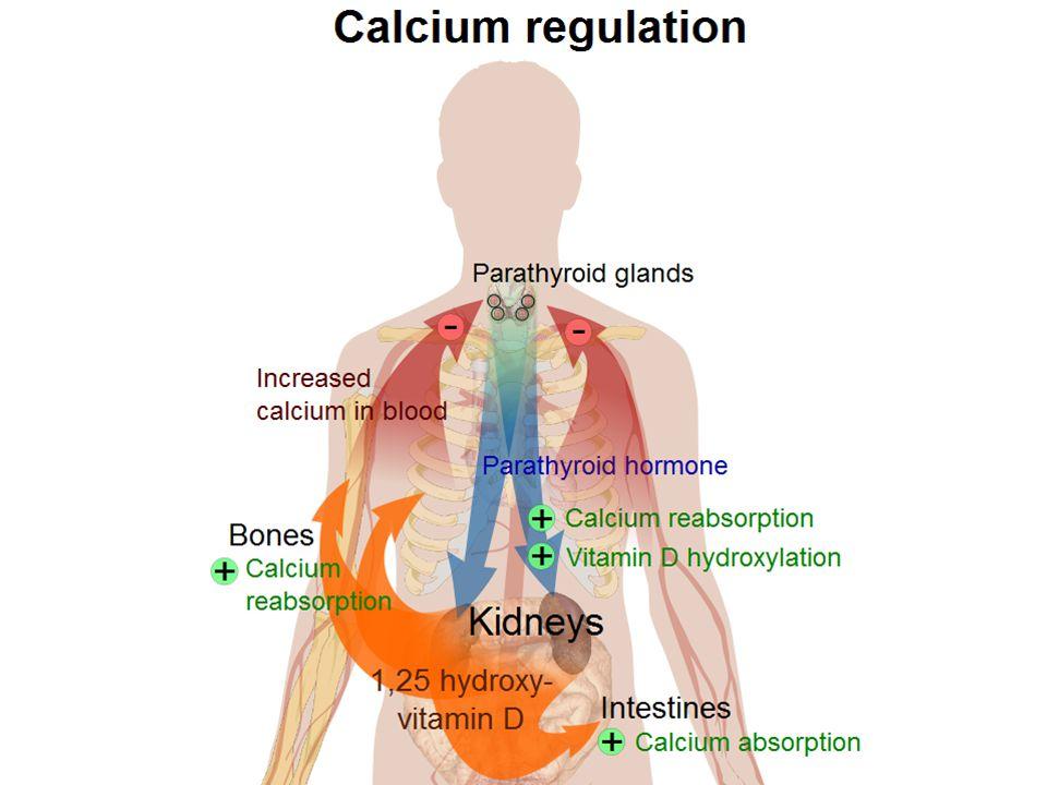 Responds to low serum Ca2+ levels