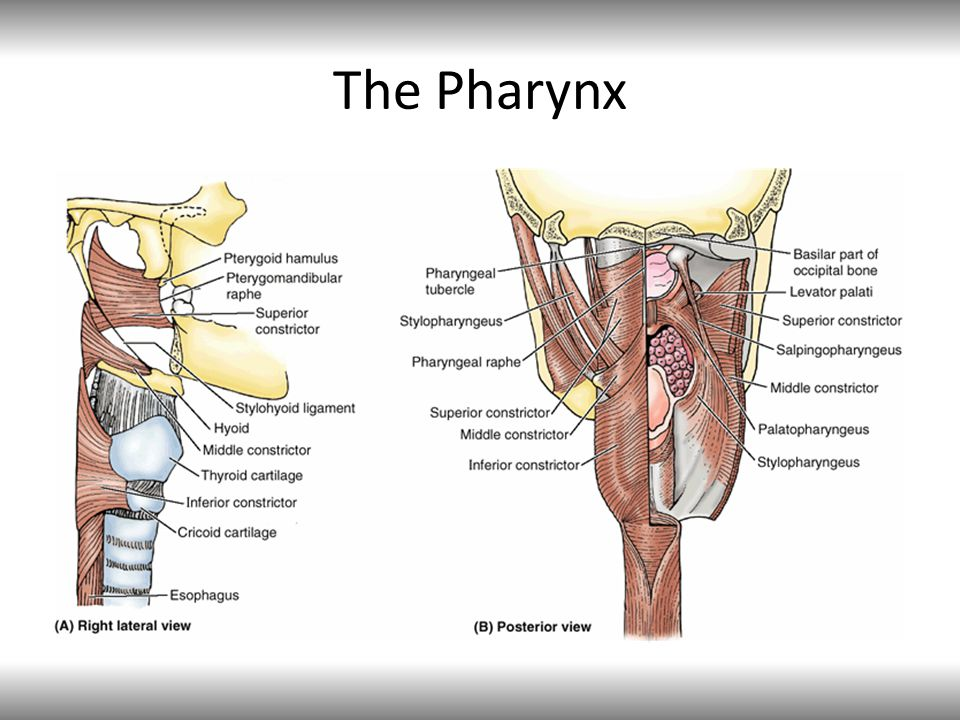 The Pharynx External circular – constrictors (superior, middle and inferior constrictors)