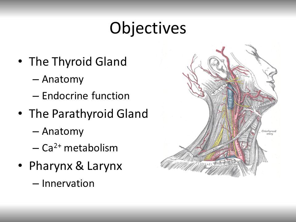 Objectives The Thyroid Gland The Parathyroid Gland Pharynx & Larynx
