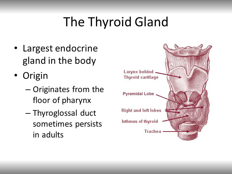 The Thyroid Gland Largest endocrine gland in the body Origin