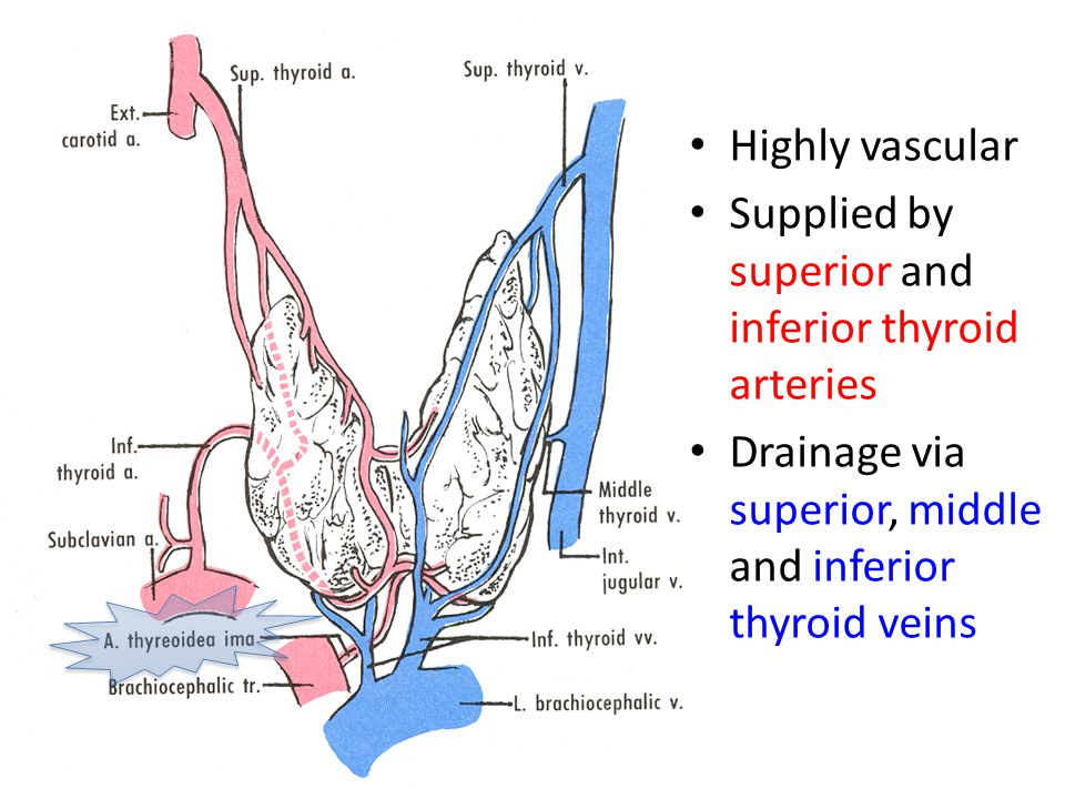Supplied by superior and inferior thyroid arteries