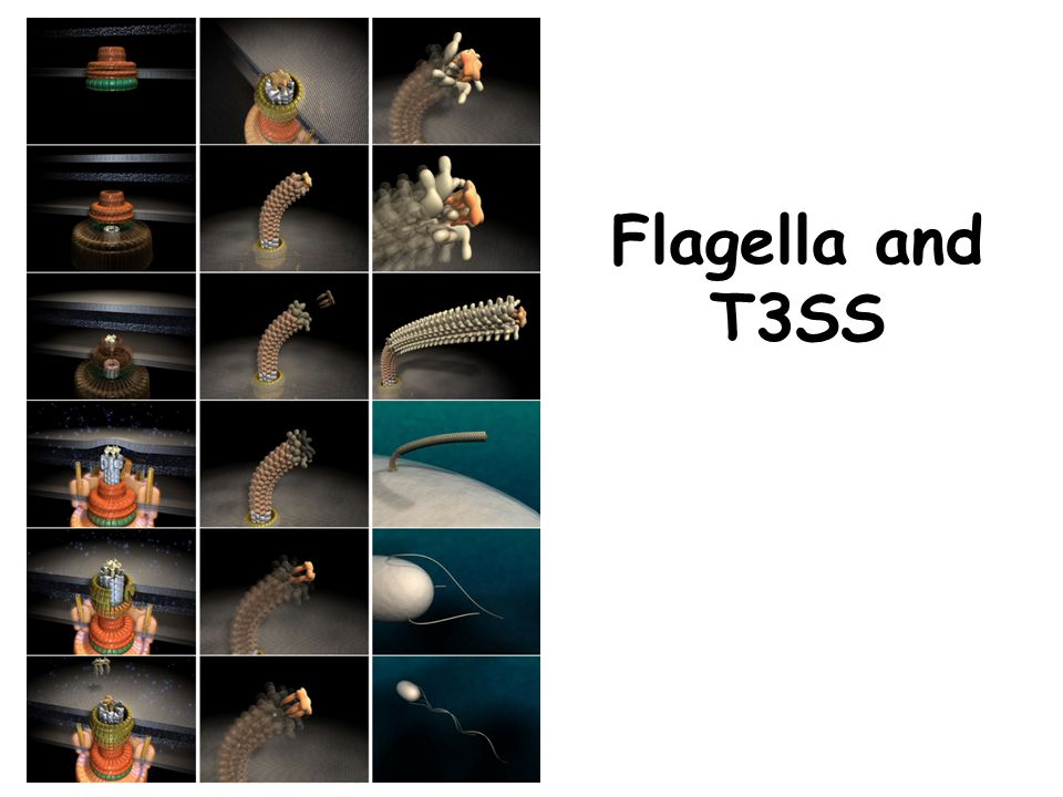 Flagella and T3SS