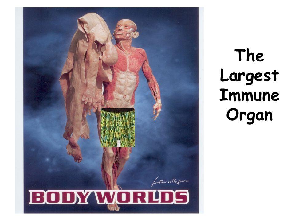 The Largest Immune Organ