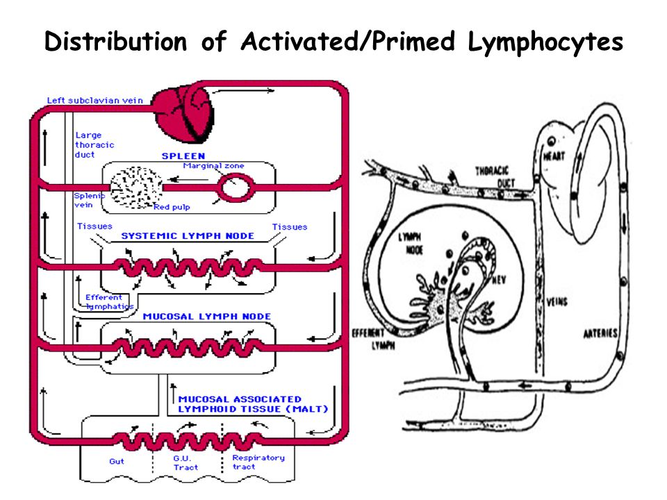 Distribution of Activated/Primed Lymphocytes