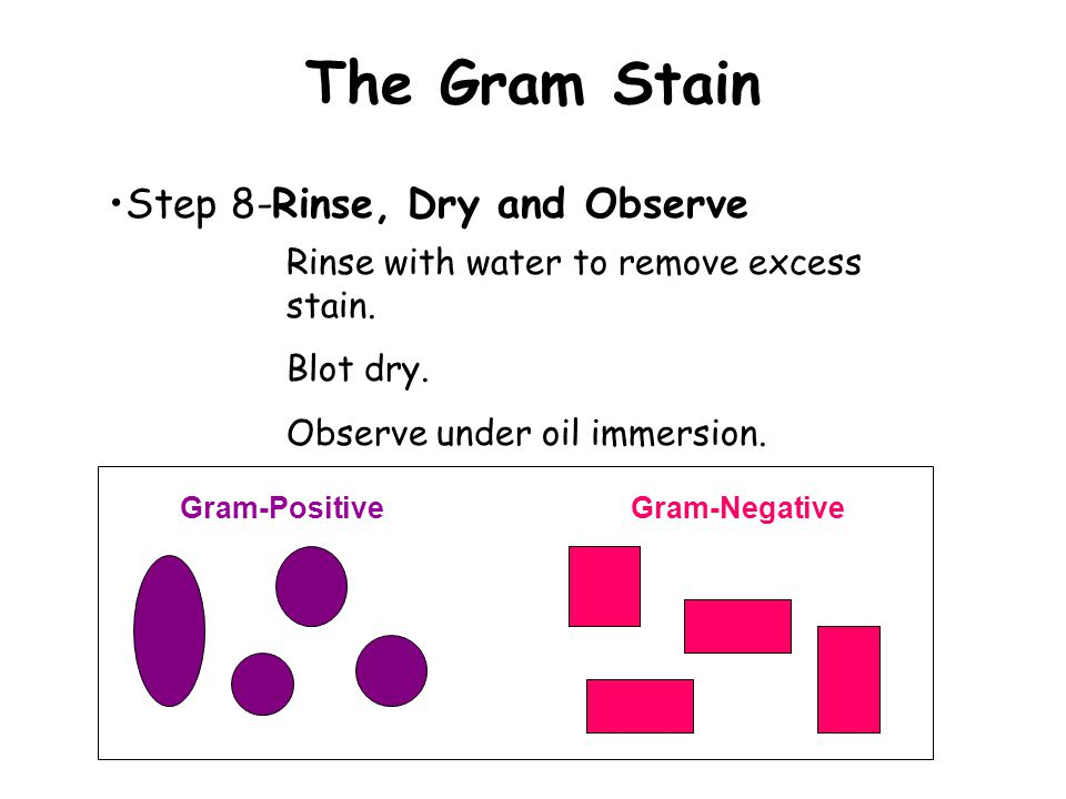 The Gram Stain Step 8-Rinse, Dry and Observe