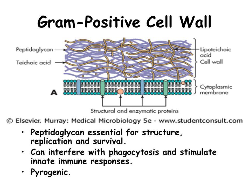 Gram-Positive Cell Wall