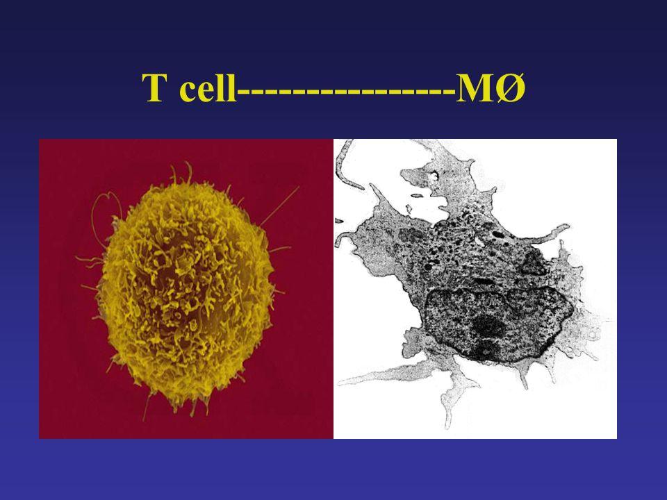 T cell----------------MØ
