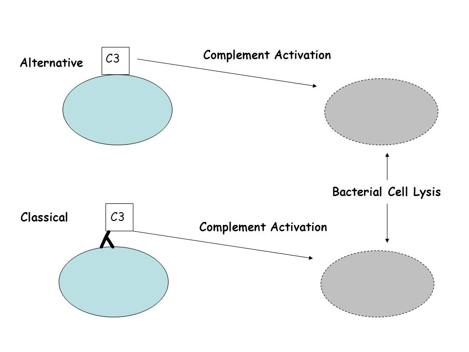 Y Complement Activation C3 Alternative Bacterial Cell Lysis Classical