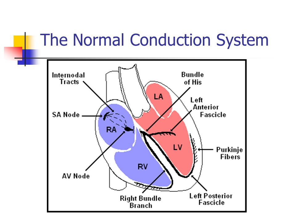 The Normal Conduction System