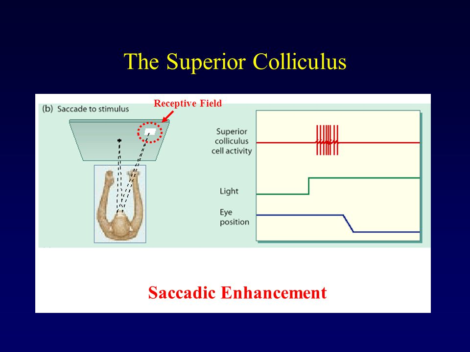 The Superior Colliculus