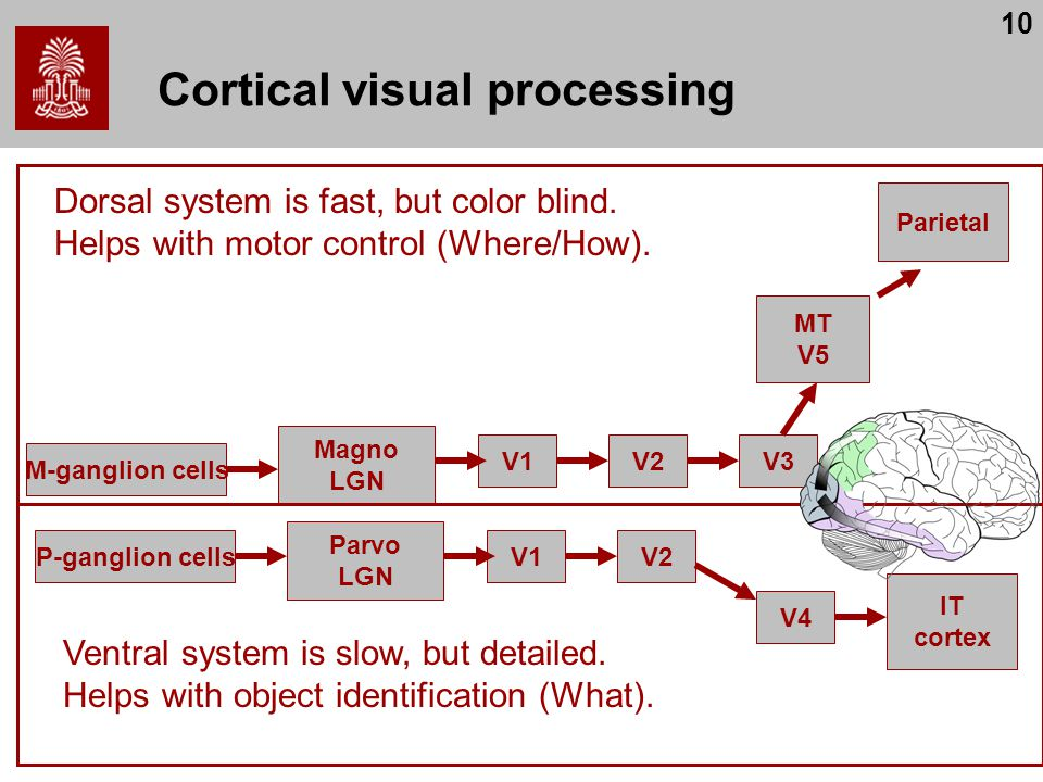Cortical visual processing