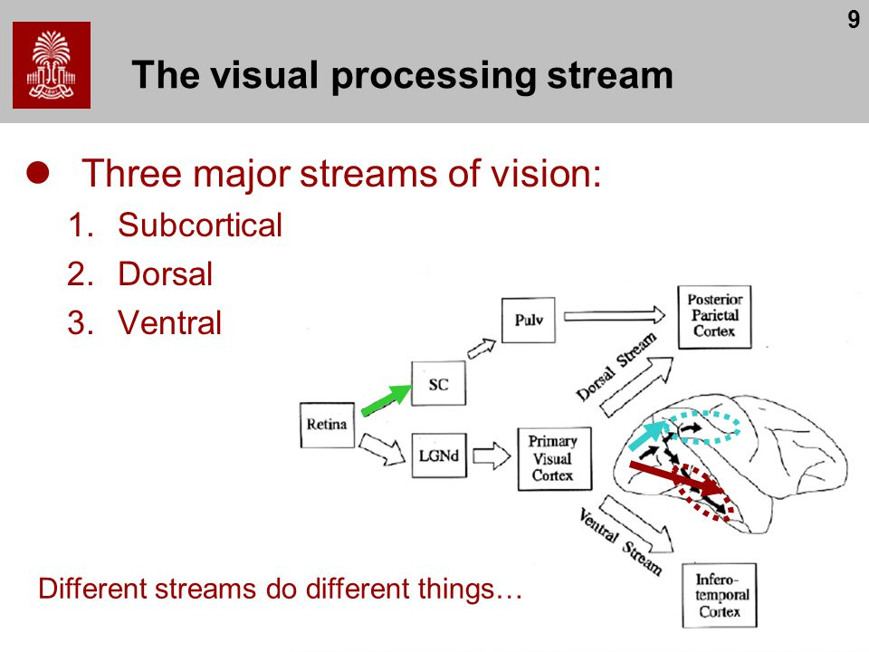 The visual processing stream