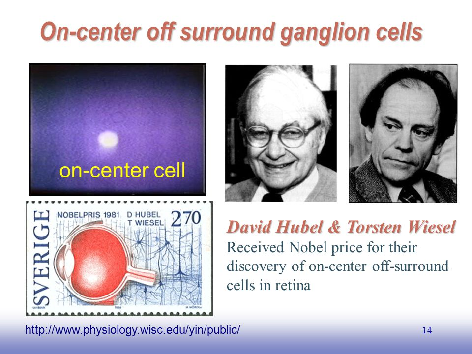 On-center off surround ganglion cells