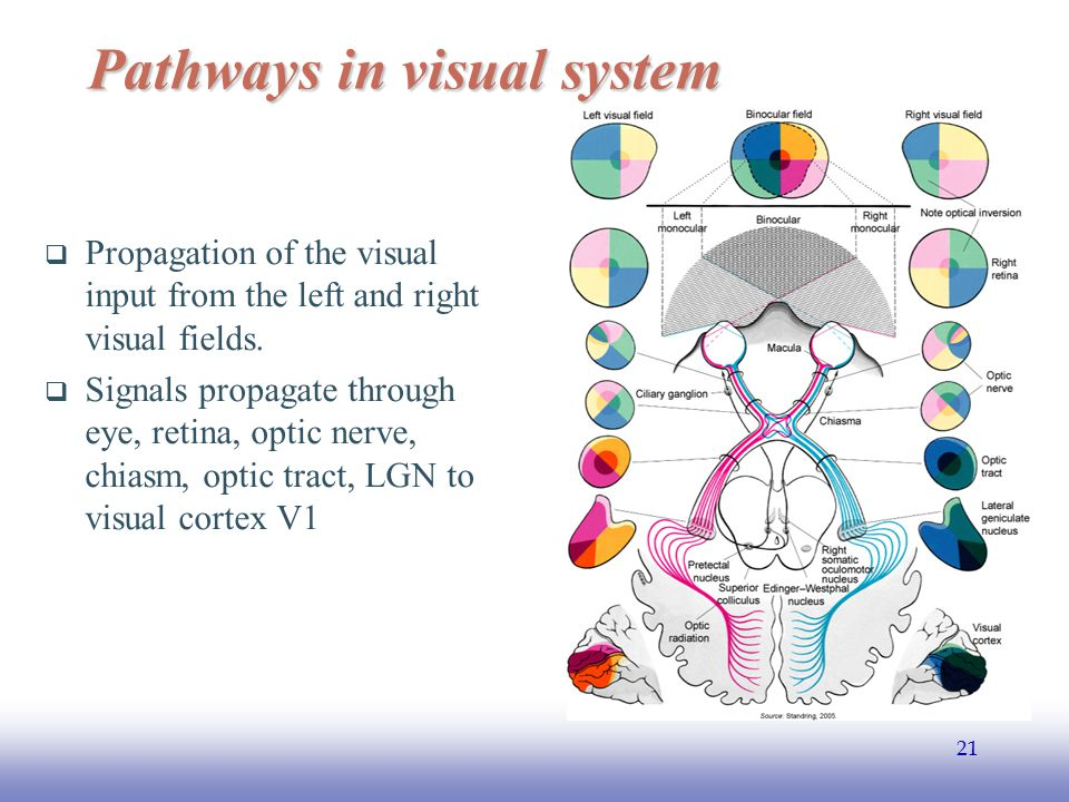 Pathways in visual system