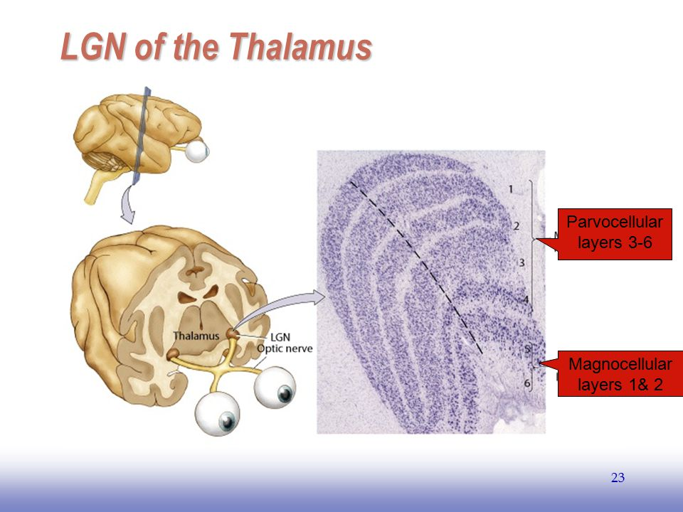 LGN of the Thalamus Parvocellular layers 3-6 Magnocellular layers 1& 2